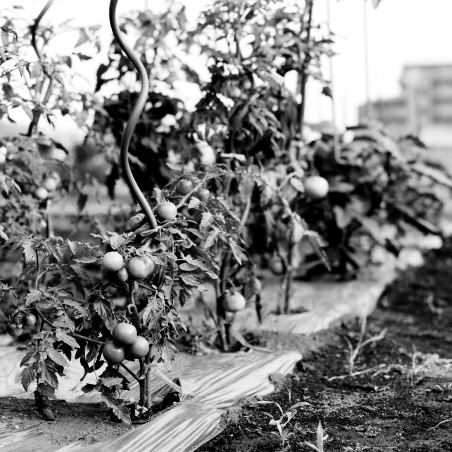 住宅街の中にある小さなトマト畑