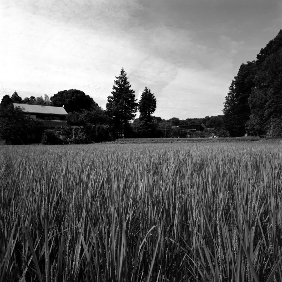 田んぼの青い稲
