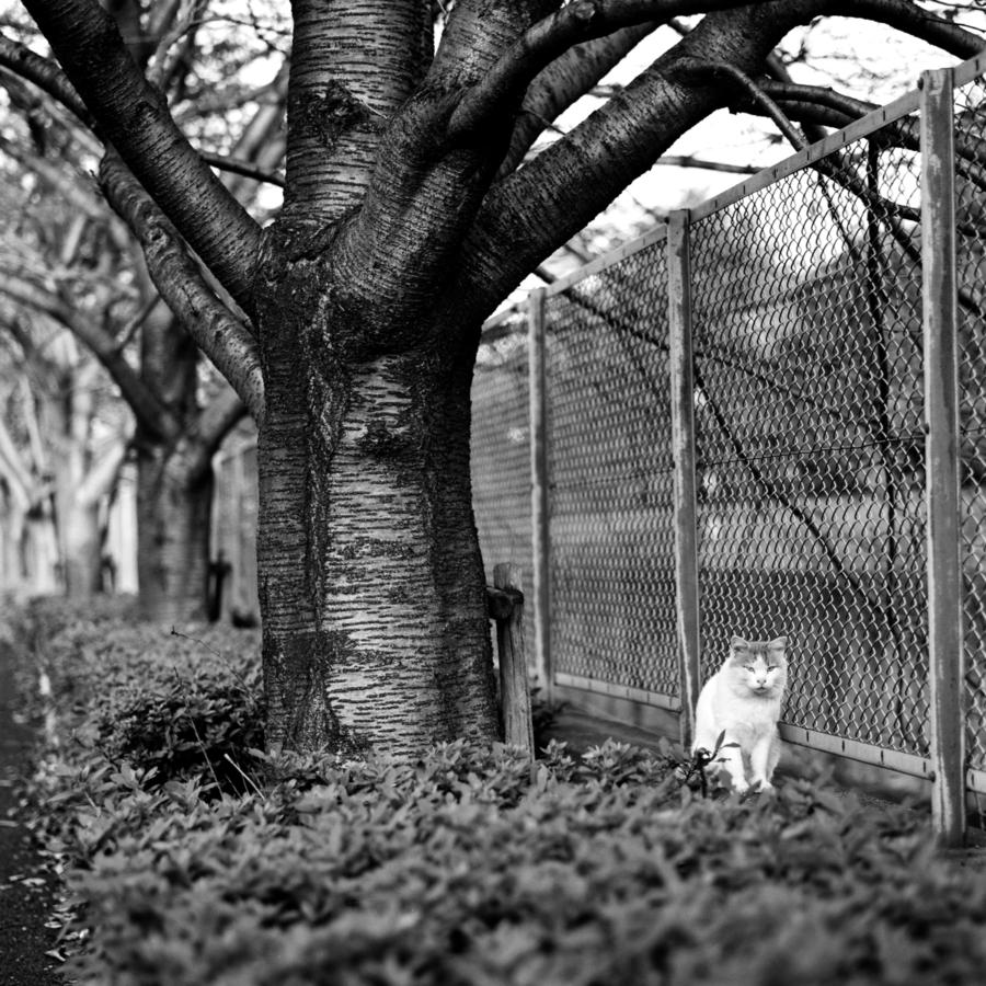 桜の木の下の猫