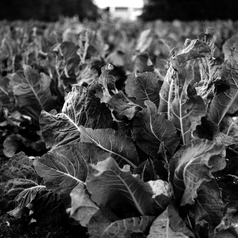 カリフラワーの葉