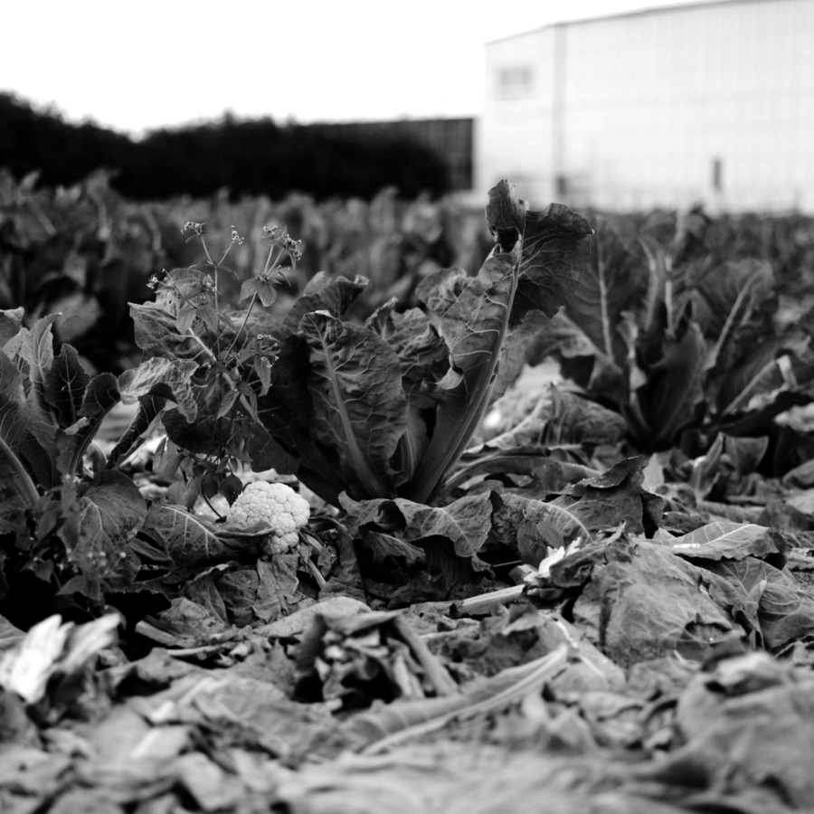 カリフラワーの収穫