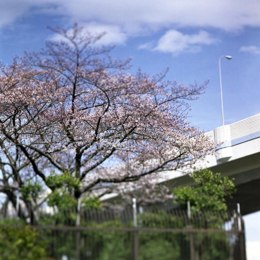 桜と首都高