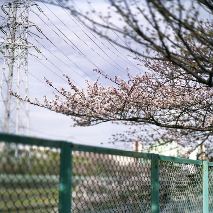 桜とフェンス