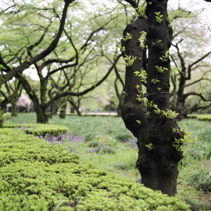染井吉野の新緑