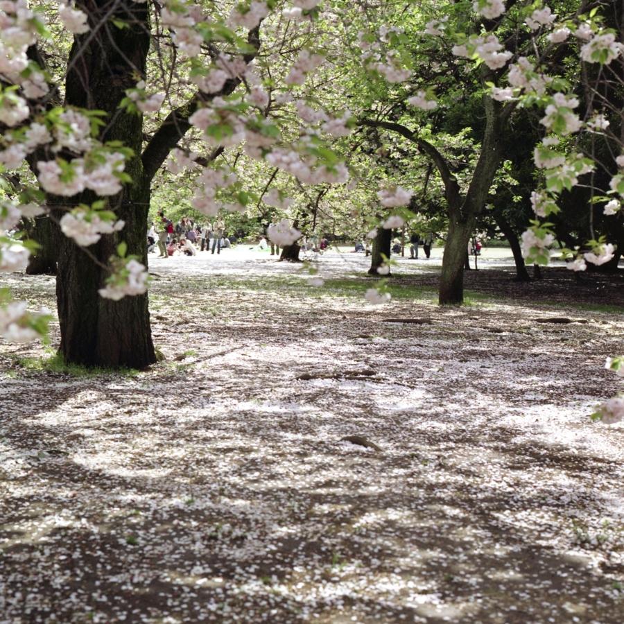 桜の木漏れ日