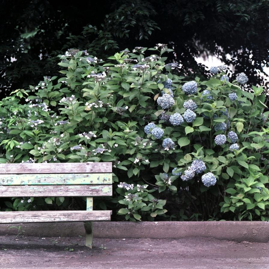 古いベンチの隣に咲いたあじさい