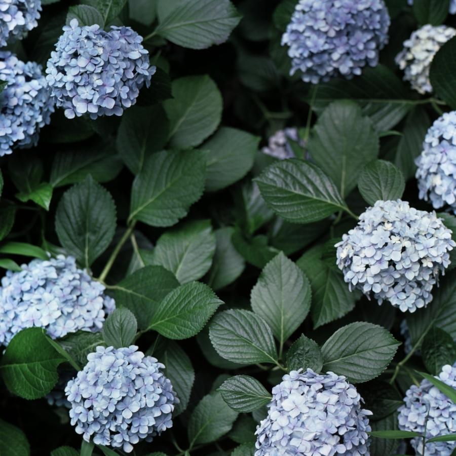 淡いブルーのあじさいと葉