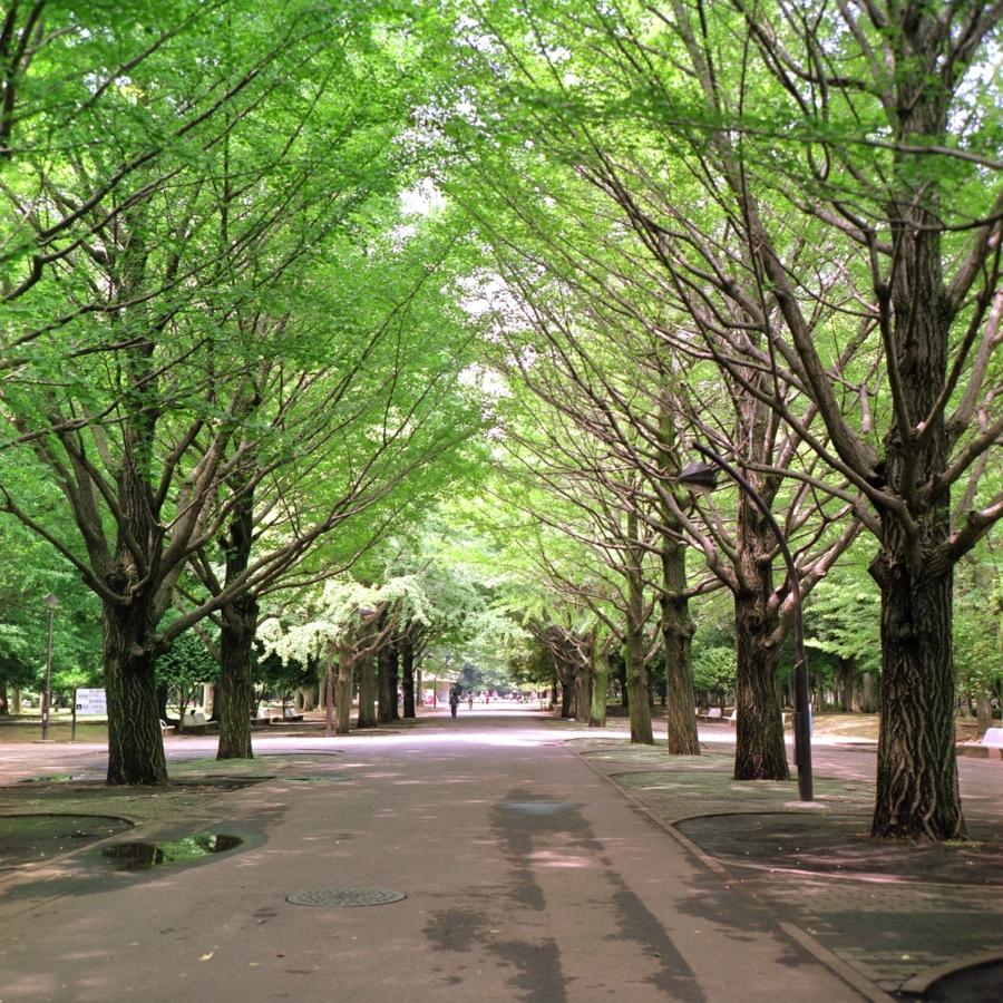 光が丘公園 真ん中の通り イチョウ並木