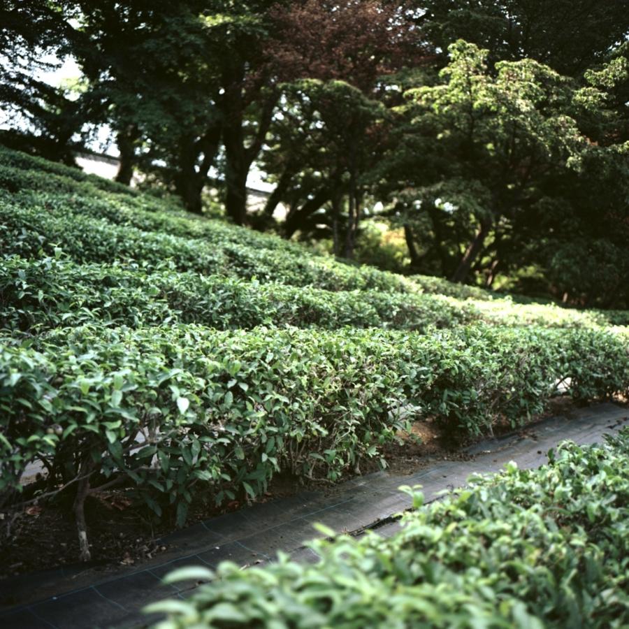 皇居 本丸跡西側の茶畑