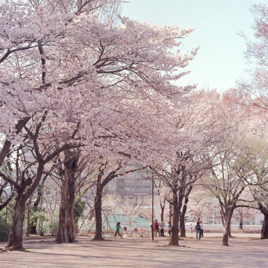 公園の桜並木