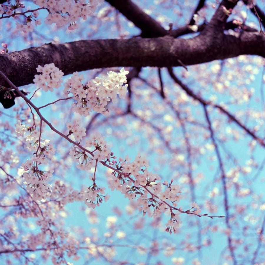 桜の枝と花