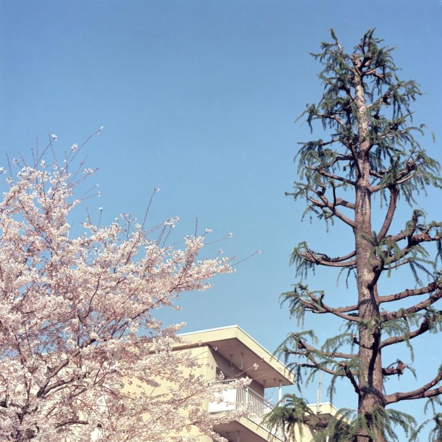 桜と団地と空
