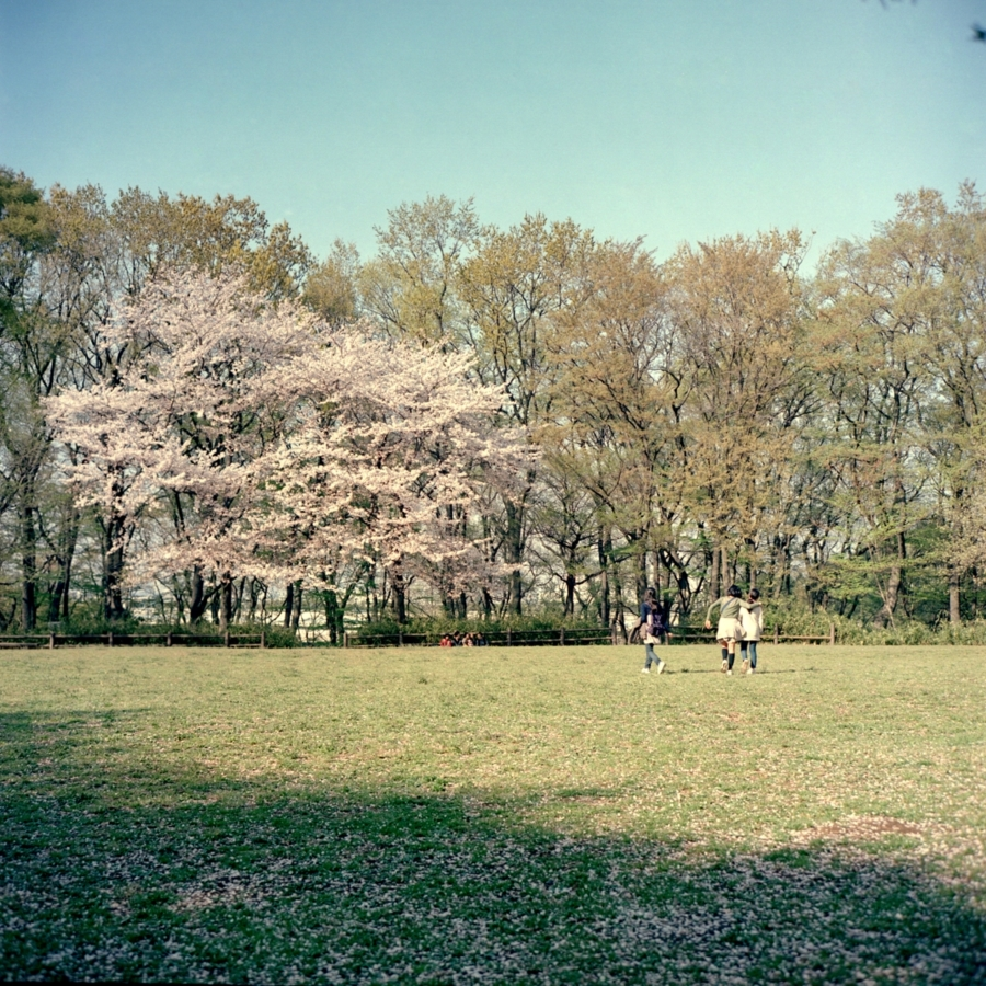 風に舞う桜の花びらをつかもうとする女の子たち