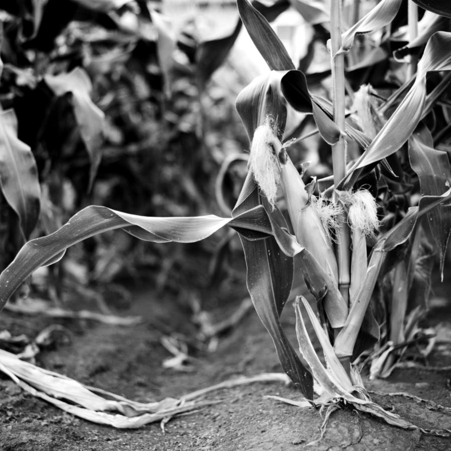 畑のトウモロコシ