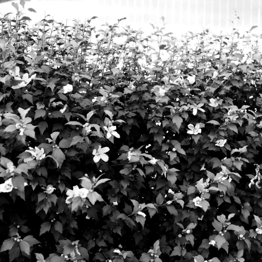 花壇の百合