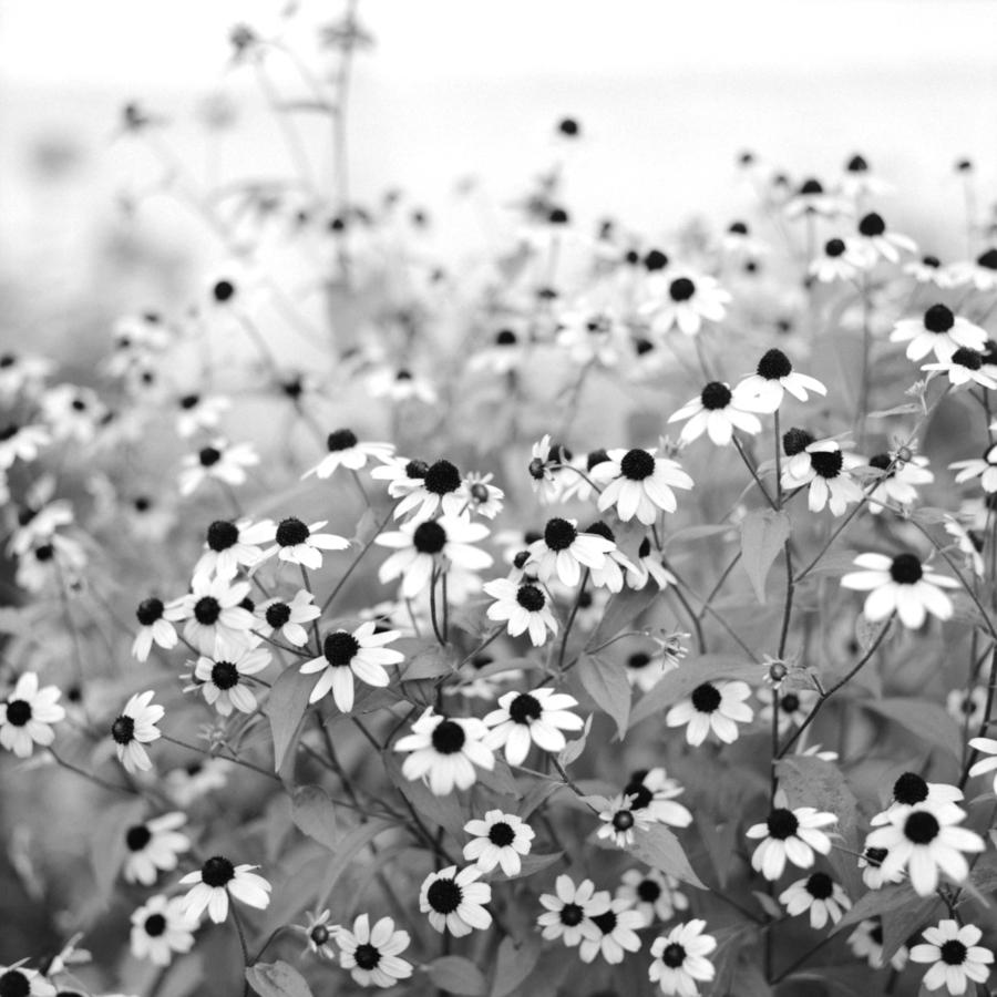 花壇のカモミール