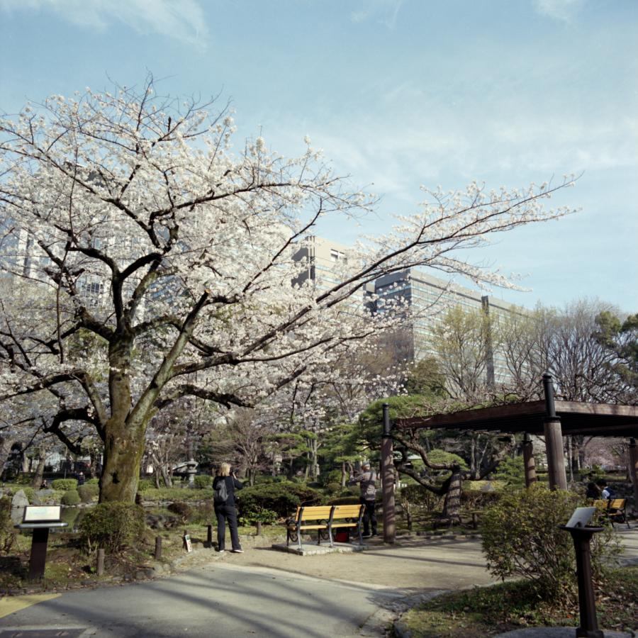 藤棚の近くの桜